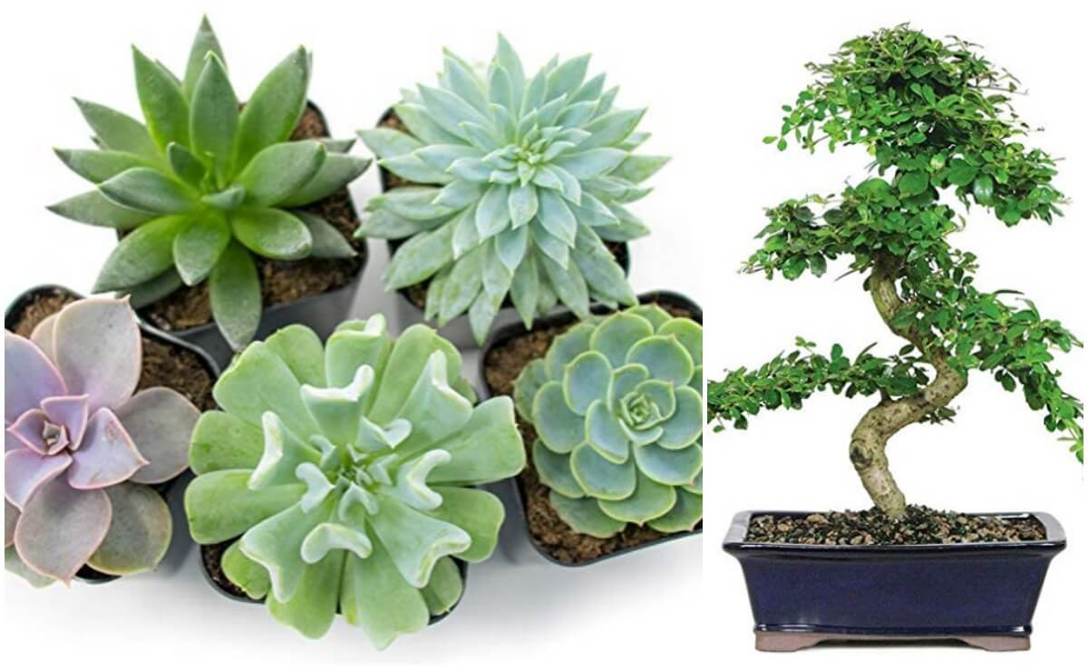 Save 25 On Succulents Bonsai Trees For Mothers Dayliving Rich